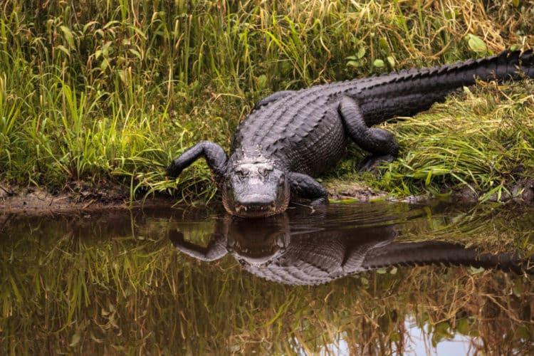 Kayak entre los caimanes