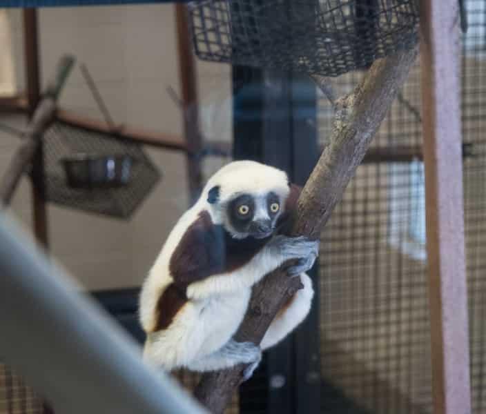 Animales en Duke Lemur Center