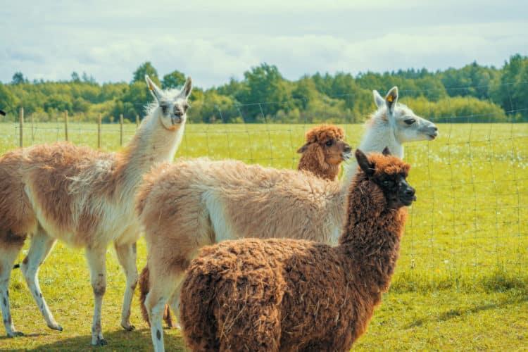 Granja de alpacas