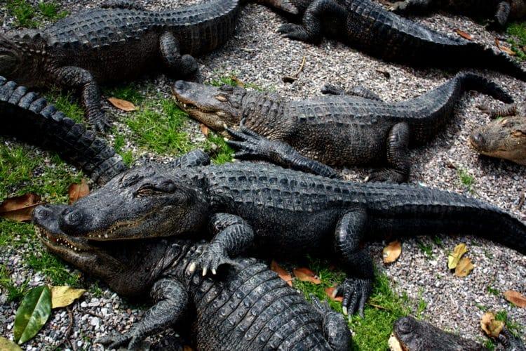 Granja de caimanes de Arkansas