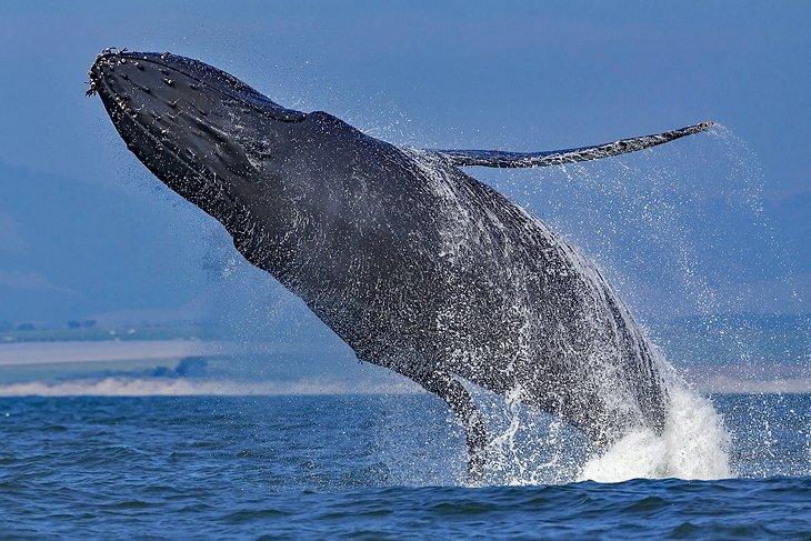 Una ballena jorobada irrumpe en la bahía de Monterey