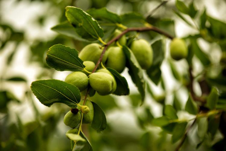 Árbol de 40 frutos