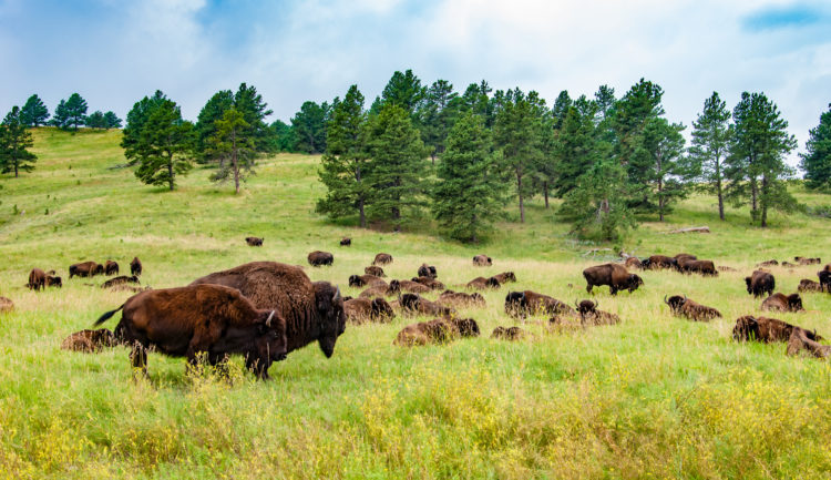 Ir a avistar bisontes