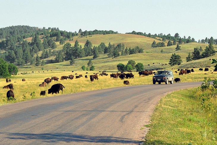 Buffalo a lo largo de Wildlife Loop Road