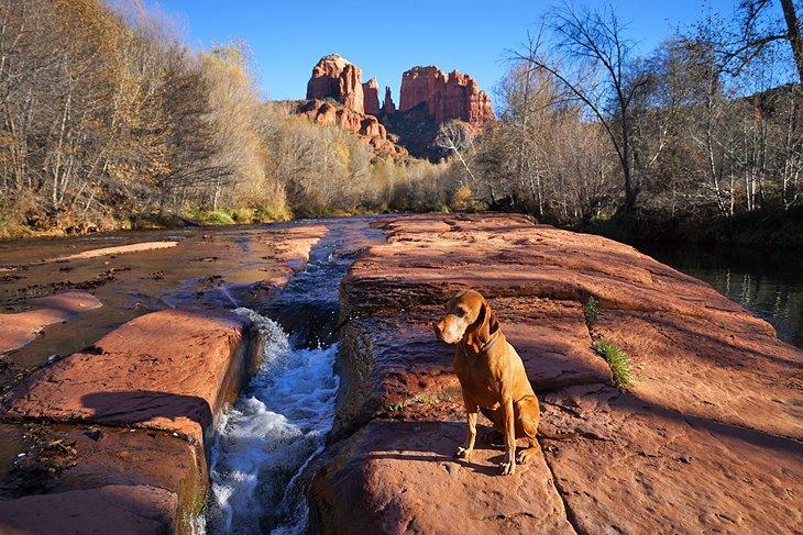 Perro junto al río en Sedona con Cathedral Rock en la distancia