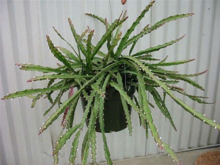 20c3a4962c2c48fd6a2aa3ed7de0b798 Los cinco tipos de cactus más caros del mundo
