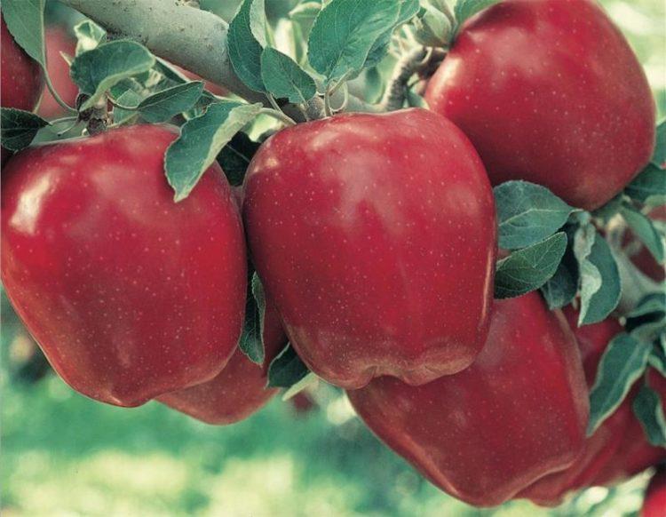 3560 960x960 Los cinco tipos de manzanas más saludables que puedes comer