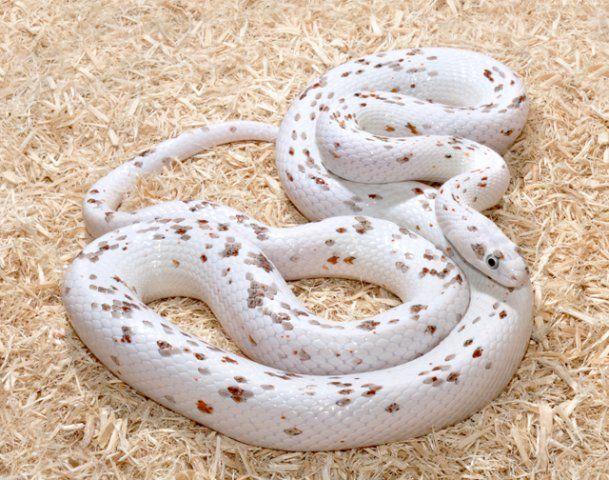 62480a7858af5036c71f00e017b9ea6d Los cinco tipos de serpientes más caras que el dinero puede comprar