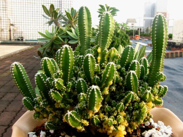 Acanthocereus tetragonus Fairy Castles Fairy Castle Cactus1 Los cinco tipos de cactus más caros del mundo