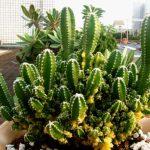 Acanthocereus tetragonus Fairy Castles Fairy Castle Cactus1 e1545257805690 Los cinco tipos de cactus más caros del mundo
