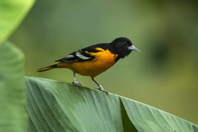 Baltimore Oriole La Cinchona Costa Rica S4E0138 26664304961 Los 10 tipos de aves más caras del mundo