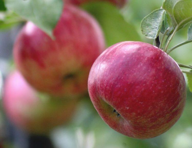 Early Crisp 06 Los cinco tipos de manzanas más saludables que puedes comer