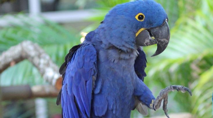 Hyacinth Macaw Los 10 tipos de aves más caras del mundo