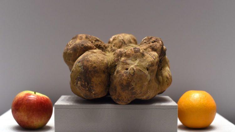Largest truffle Las cinco trufas más caras de la historia