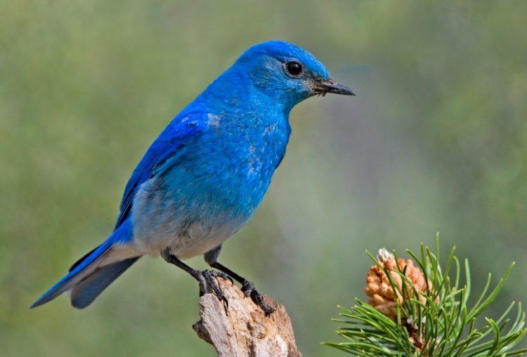 Mountain Bluebird Los 10 tipos de aves más caras del mundo