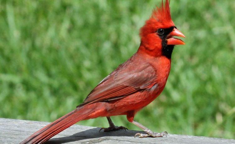 North Cardinal Los 10 tipos de aves más caras del mundo