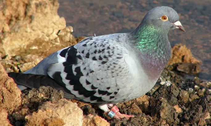 Racing Pigeon Los 10 tipos de aves más caras del mundo