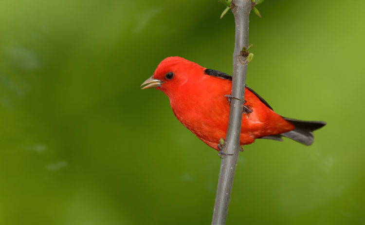 Scarlet Tanager Los 10 tipos de aves más caras del mundo