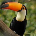 Toucan Los 10 tipos de aves más caras del mundo