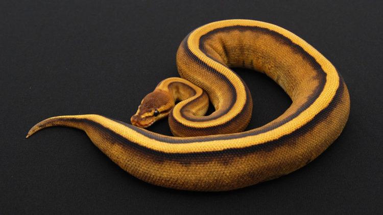 geneticstripeballpython03 Los cinco tipos de serpientes más caras que el dinero puede comprar