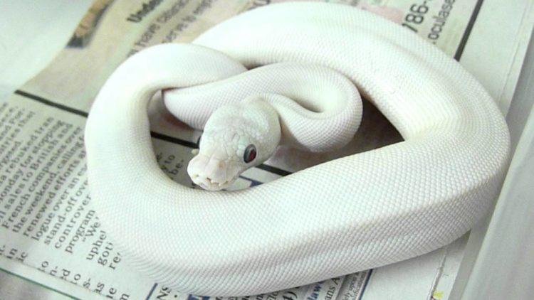 maxresdefault 66 Los cinco tipos de serpientes más caras que el dinero puede comprar