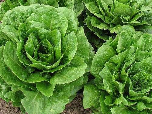 oakleaf lettuce seeds kristine Los cinco tipos de lechuga más saludables