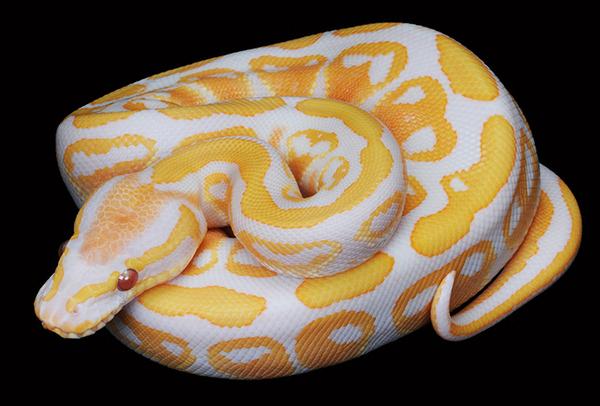 python Los cinco tipos de serpientes más caras que el dinero puede comprar
