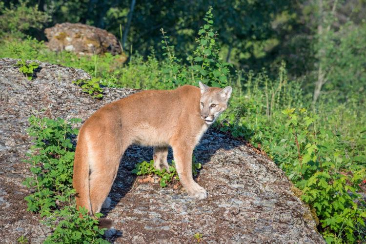Panther Ridge