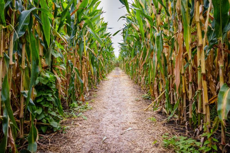 Laberinto de maíz y granja de diversión de Calgary